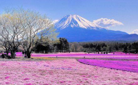 ws_Pink_Flower_Field_Mount_Fuji_1920x1200