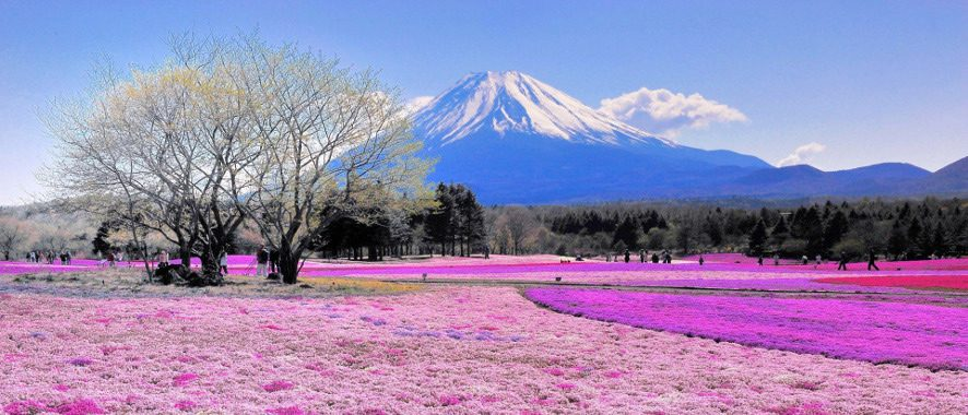 ws_Pink_Flower_Field_Mount_Fuji_1920x1200